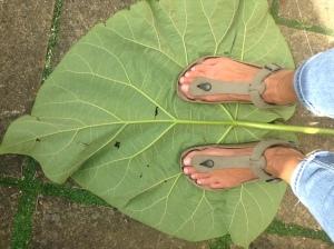 Paulonia leaf